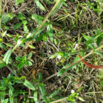common_mouse-ear_chickweed