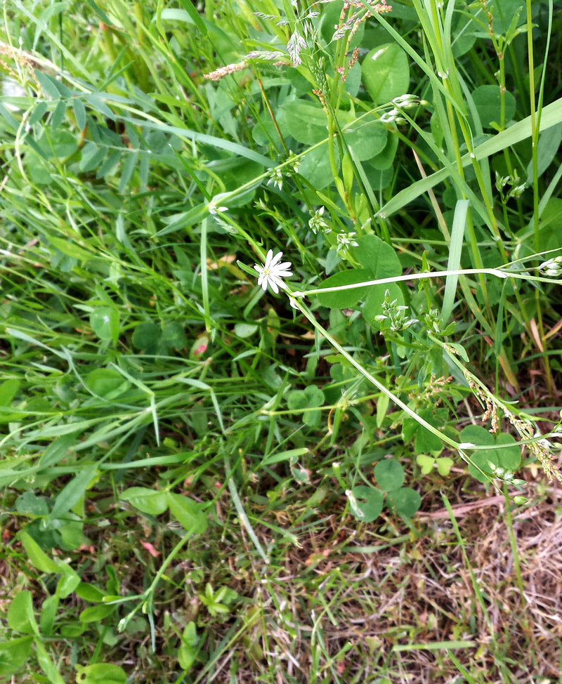 grass-leaved stitchwort